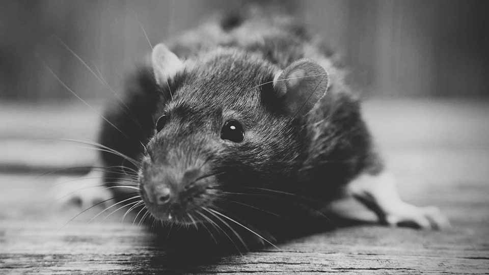 how-do-i-get-rid-of-roof-rats